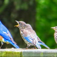 A New Bluebird Family